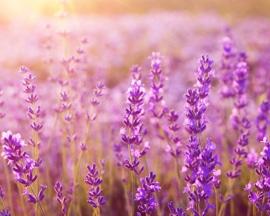 Levandų eterinio aliejaus į Lioton® 1000 gelį įdėta, kad suteiktų gaivinančio kvapo.